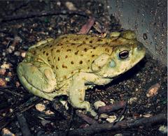 Sapo (Bufo, Toad Medicine)