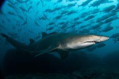 Double Dive: Grey Nurse Shark Dive (max 18m)