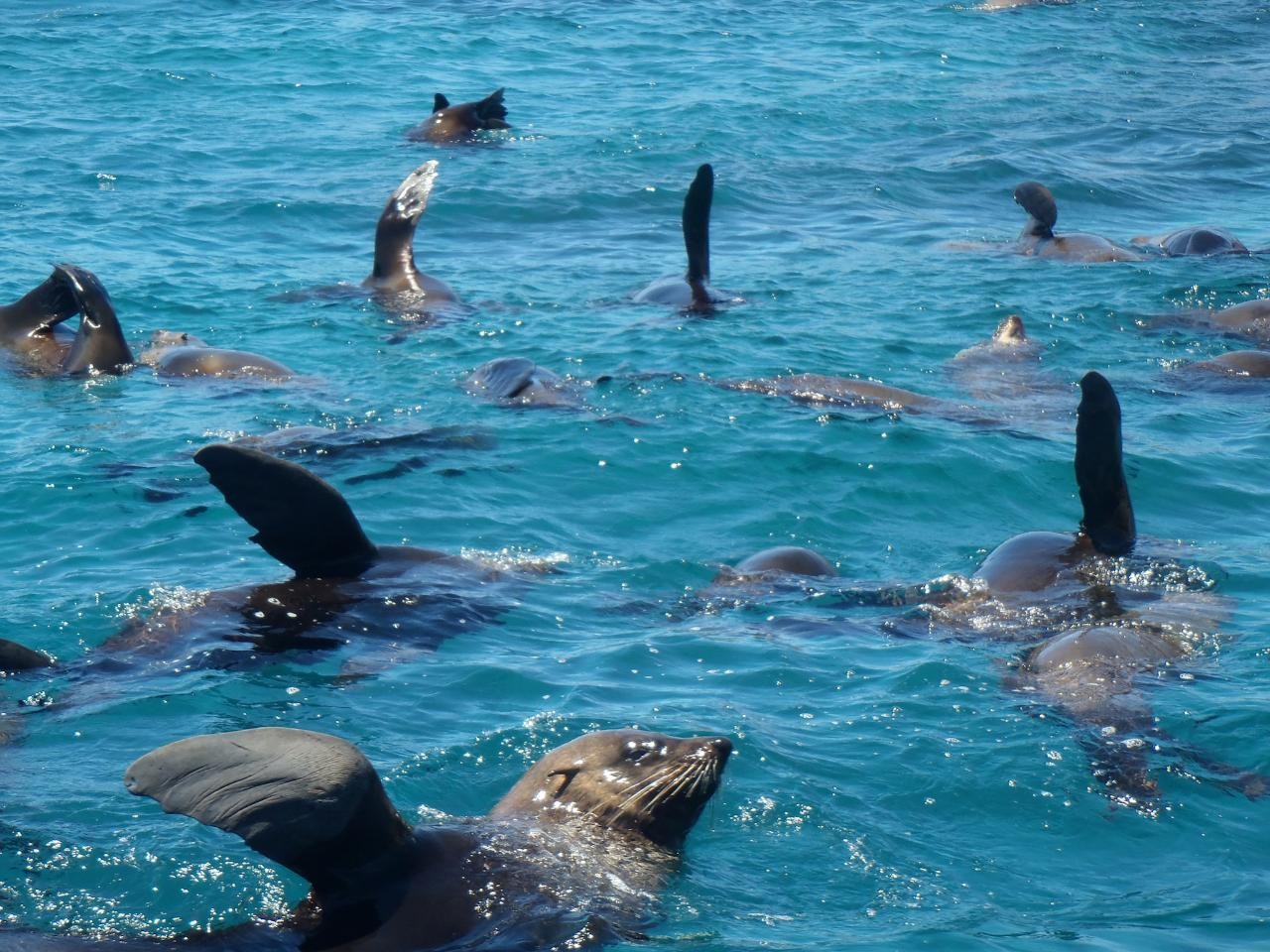 Snorkel with the Seals at Montague Island