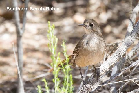 5 Day Mallee Birding