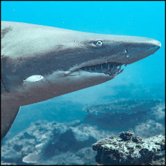 Grey Nurse Shark Reef Double Dive (Certified Divers Only)