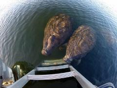 Snorkel with Manatees-Private Tour