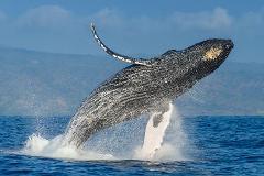 Humpback Swim