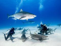 Bull Shark Diving Experience