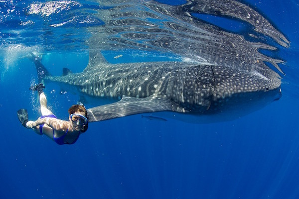 Private Whale Shark Snorkeling Encounter