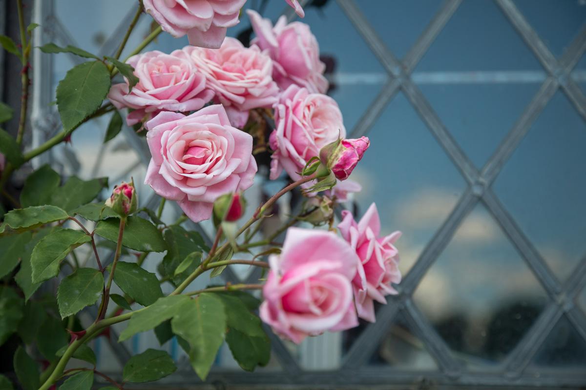 The Rose Gardens of England