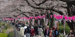 Japan's Cherry Blossoms (Dep. Melbourne)