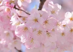Japan's Cherry Blossoms (Dep. Sydney)