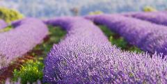 Tasmania Lavender