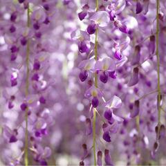 Japan's Spring Flower Festivals