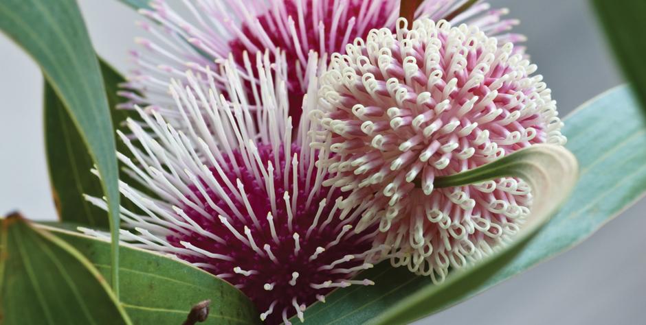 Western Australia Wildflowers