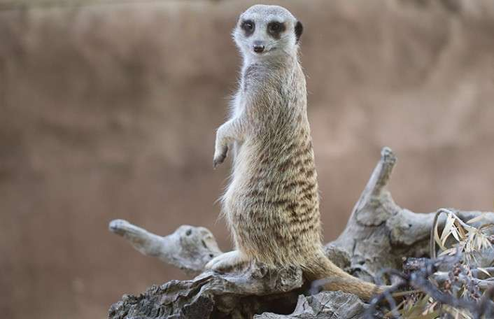 Meerkat Encounter and a Day at Adelaide Zoo