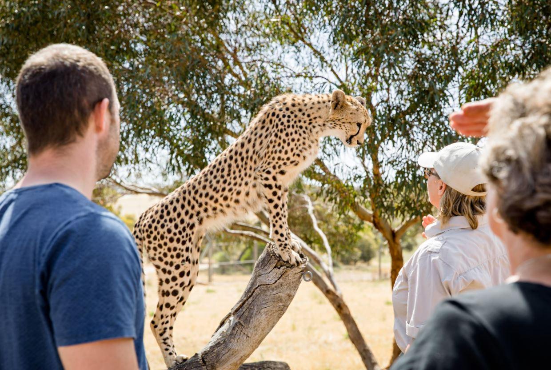 Cheetah Experience at Monarto Safari Park