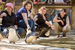 Penguins in Person and A Day at Adelaide Zoo