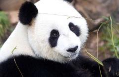 VIP Panda Exclusive tour