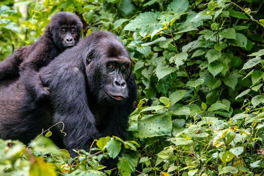 Uganda - Gorilla Conservation Adventure