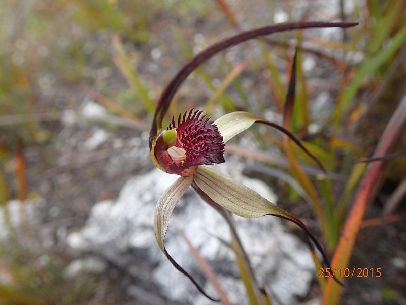 Arthur Pieman Conservation Area Spring Orchid Tour