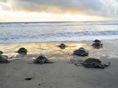 Seasonal Turtle Watching Isla Cañas