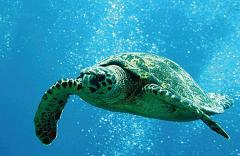 Hawaii Nautical - Turtles Guaranteed Morning Snorkel Sail - May through November (Waikiki) - Kewalo Basin Harbor
