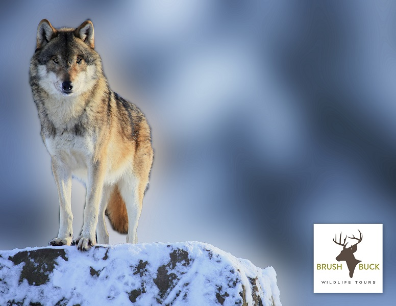 5 Day / 4 Night Yellowstone Winter Wolf Tour