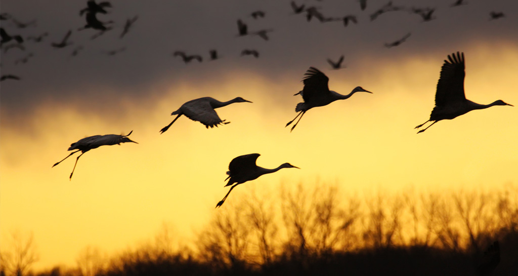 The Great Sandhill Crane Migration