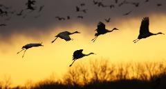 The Great Sandhill Crane Migration