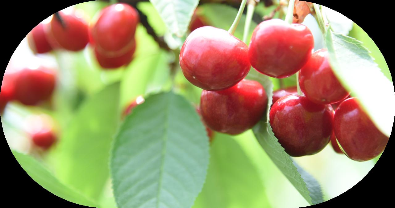 【Hirata Kankou-nouen】Cherry picking / サクランボ狩り