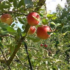 【Hirata Kankou-nouen】Apple picking / リンゴ狩り