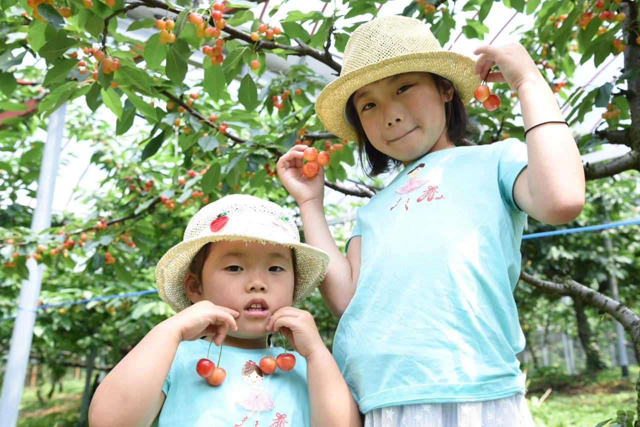 【Hirata Kankou-nouen】Hiroshima Cherry Picking at the Fruits Amusement Park, only for the early summer / 初夏限定!広島・果物テーマパークでさくらんぼピッキング体験