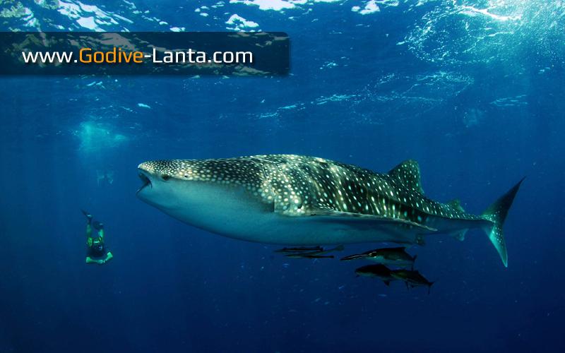 [ Online ] SSI Shark Diving Course 2 Dives