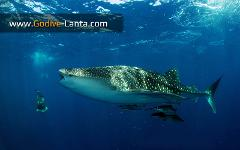 SSI Shark Diving Course 2 Dives