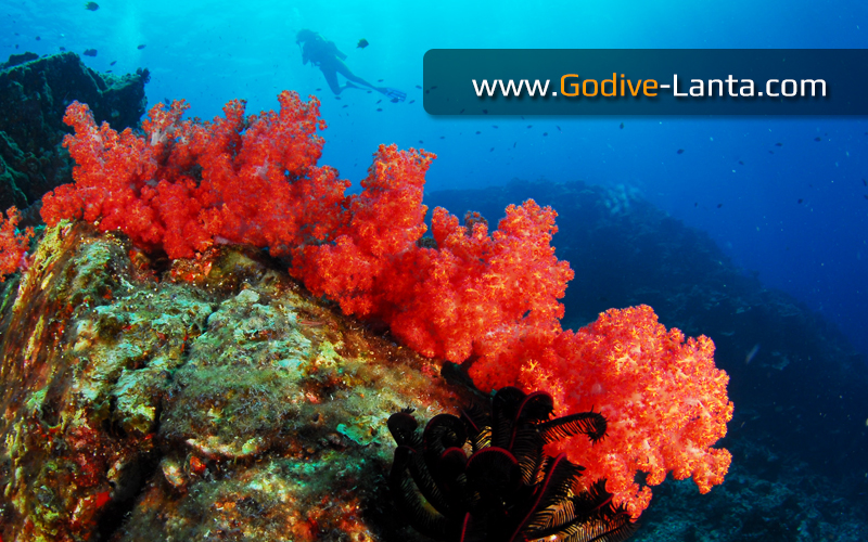Diving Trip : Hin Deang - Hin Muang on Speed Boat