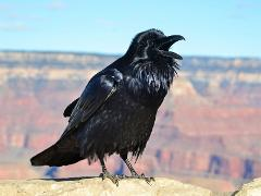 Birding on the Edge - North Rim (Supporters Only)