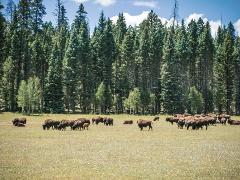 Hands-on Wildlife: North Rim Bison Impacts Survey