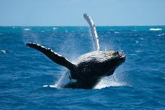Whale watching + ISLA IGUANA / SEASON JUL - OCT