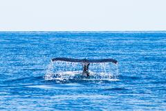 Sunset Humpback Whale Watching Cruise Gift Card