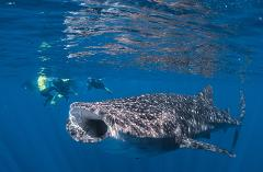 Whale Shark Adventure Swims Exmouth Gift Card