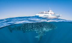 Whale Shark Adventure Swims Exmouth