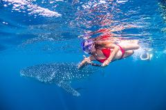 Whale Shark Adventure Swims Exmouth 2021 Season