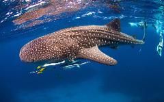 Whale Shark Adventure Swims Exmouth 2020-2021 Seasons