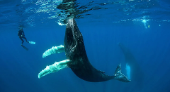 2020 Humpback Whale Swim and Watch Tour
