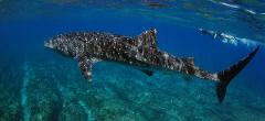 Whale Shark / Humpback Whale / Ningaloo Reef Snorkelling Eco Tour starts (Mid July to late October)