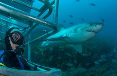 Great White Expedition hosted by Alessandro De Maddalena