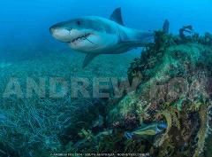 Great White Shark Expedition (5 Nights)
