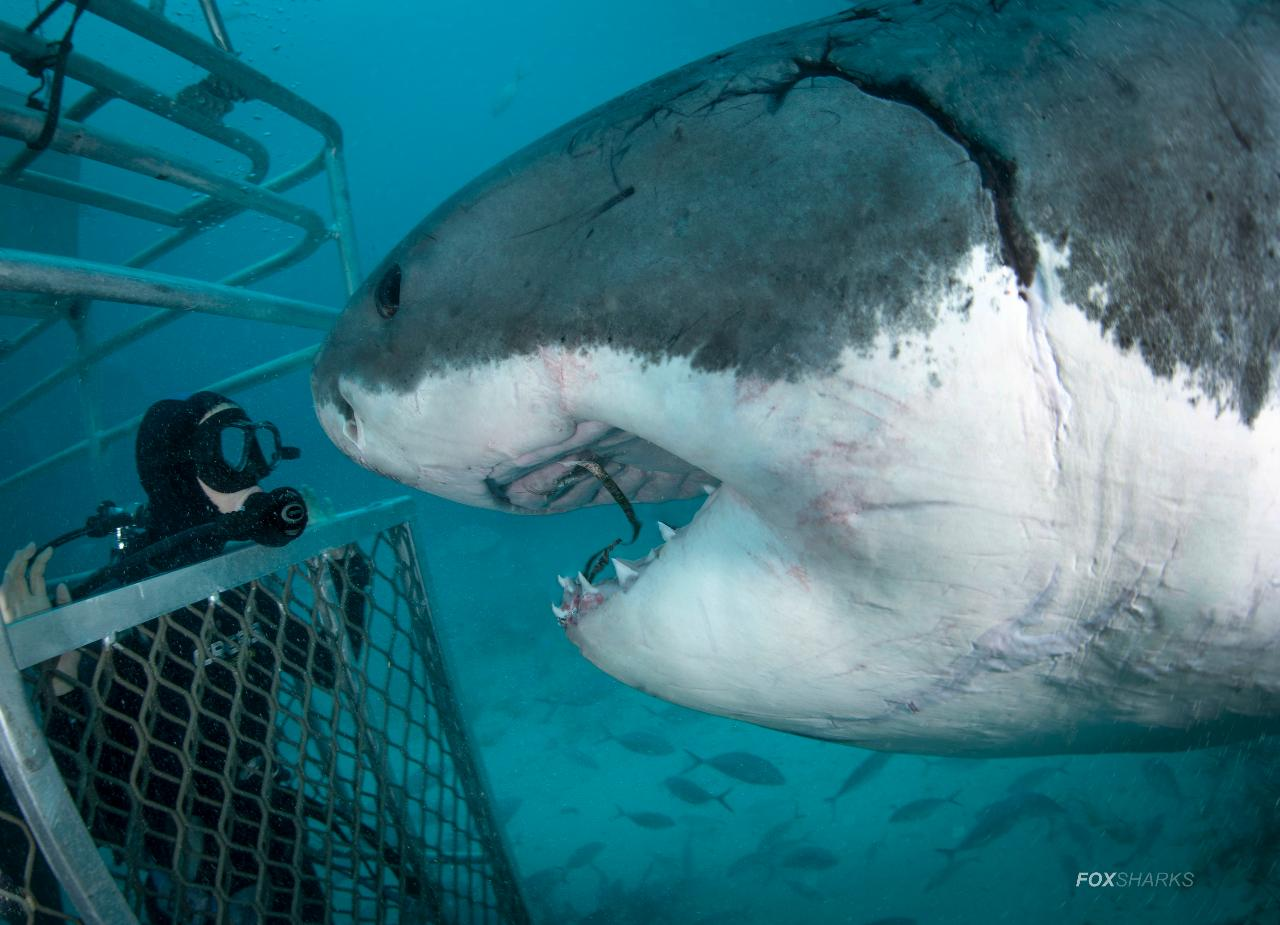 Great White Nikon Shoot Out Expedition (4 Nights/5 Days) 2020