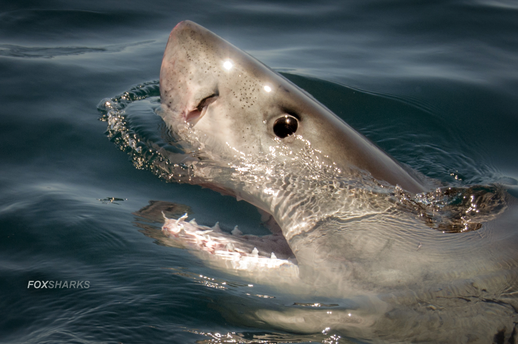 Super Giant Great White Spectacular