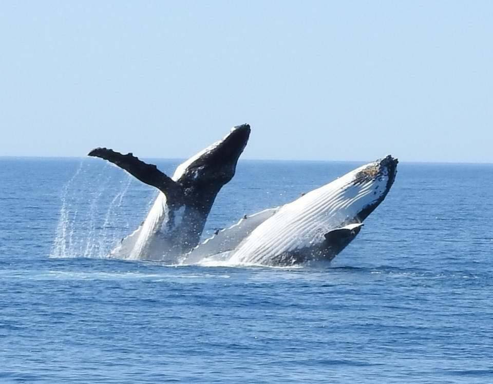 Albany Whale Watching Gift Voucher