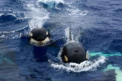 Bremer Canyon Killer Whale (Orca) Expedition - 2 Day Pass