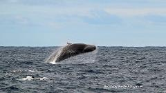 Bremer Canyon Sperm Whale and Pelagic Expedition
