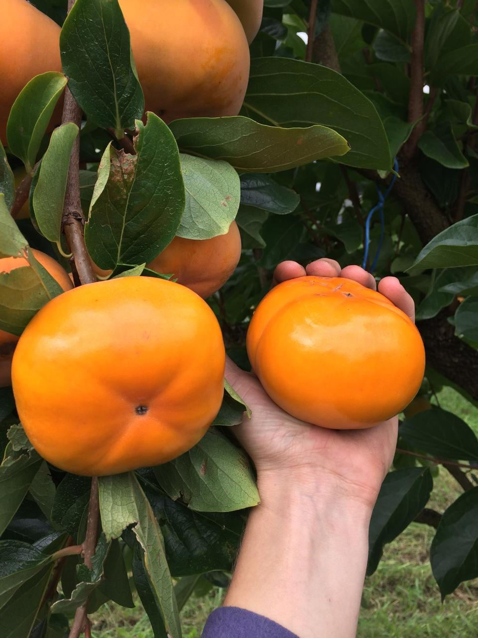 Pick Your Own PERSIMMON - Weekends
